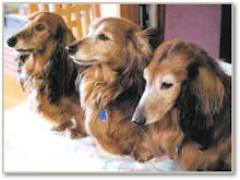 Can Am Int Ch. Joskip's Red Rowan ML with brother and sister, Gracie and Amos.